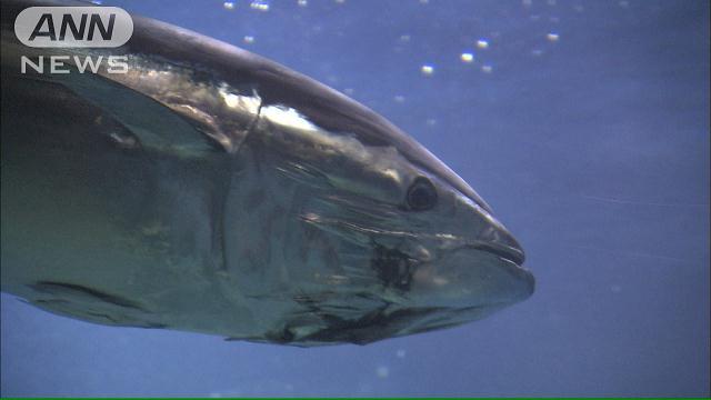 急減している太平洋クロマグロの資源回復のため、水産庁が漁獲量を来年以降... クロマグロ未成魚の