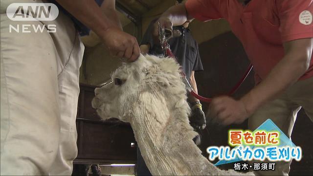 ペルーから職人も来日 夏に向けアルパカ毛刈り