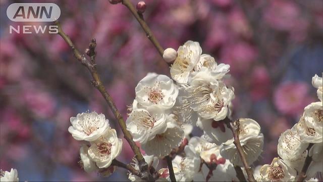 東京 梅 の 標本 木
