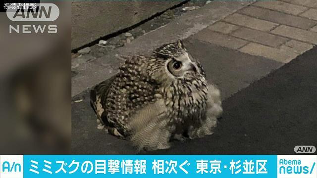 東京・杉並の住宅街にミミズク現る