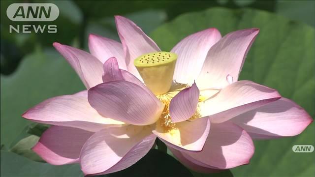 「ハス池」に淡いピンク色の花 水面覆う2万株の画像