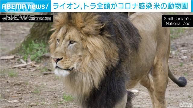 米の動物園で園内全てのライオン、トラがコロナ感染
